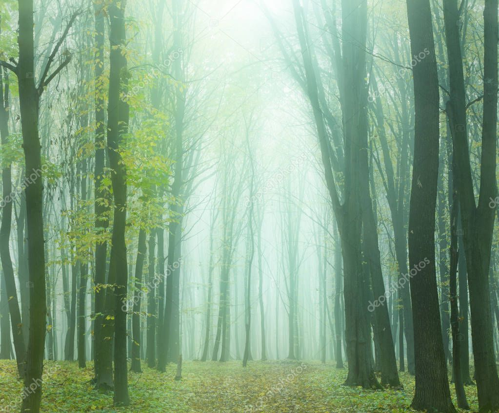 foggy autumn forest
