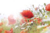 Fotografie Field of bright red poppy flowers