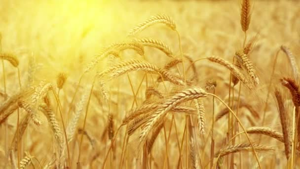 Ripe wheat against the bright sun