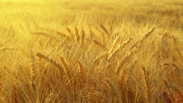 Golden ears of ripe wheat