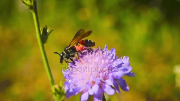 Včela shromažďuje nektar z květu, zpomalené