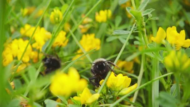 Hummel sammelt Nektar aus Blüten, Zeitlupe 500fps