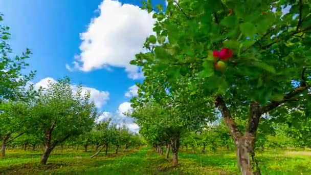 Apple Orchard With Ripe Apples, 4K Time-lapse