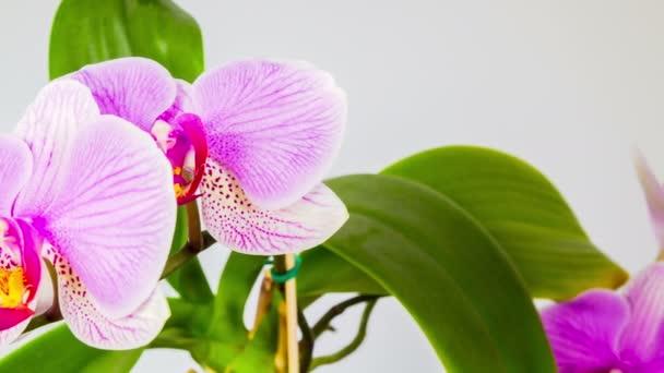 Květy orchidejí, stop-motion 4k