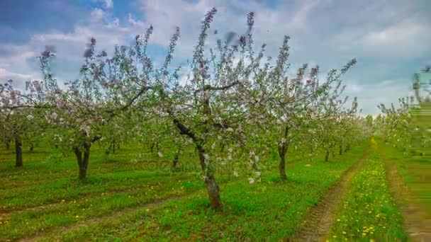 Spring apple garden with flowers and dandelions, 4K panoramic time ...