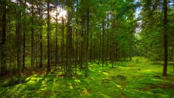 Nyári erdőben és a nap, 4k panorámás time-lapse