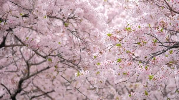 Kvetoucí sakura třešňový květ