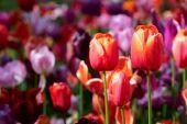 Virágzó tulipán virágágyásba a Keukenhof virágos kert, Hollandia