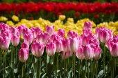 Kvetoucí tulipány záhonu Keukenhof květinové zahradě, Holandsko