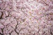 Fotografie Kvetoucí sakura cherry blossom