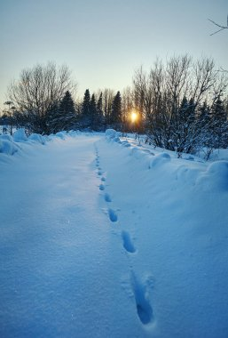 Traces of a wolf on a winter road. Countryside, Russia