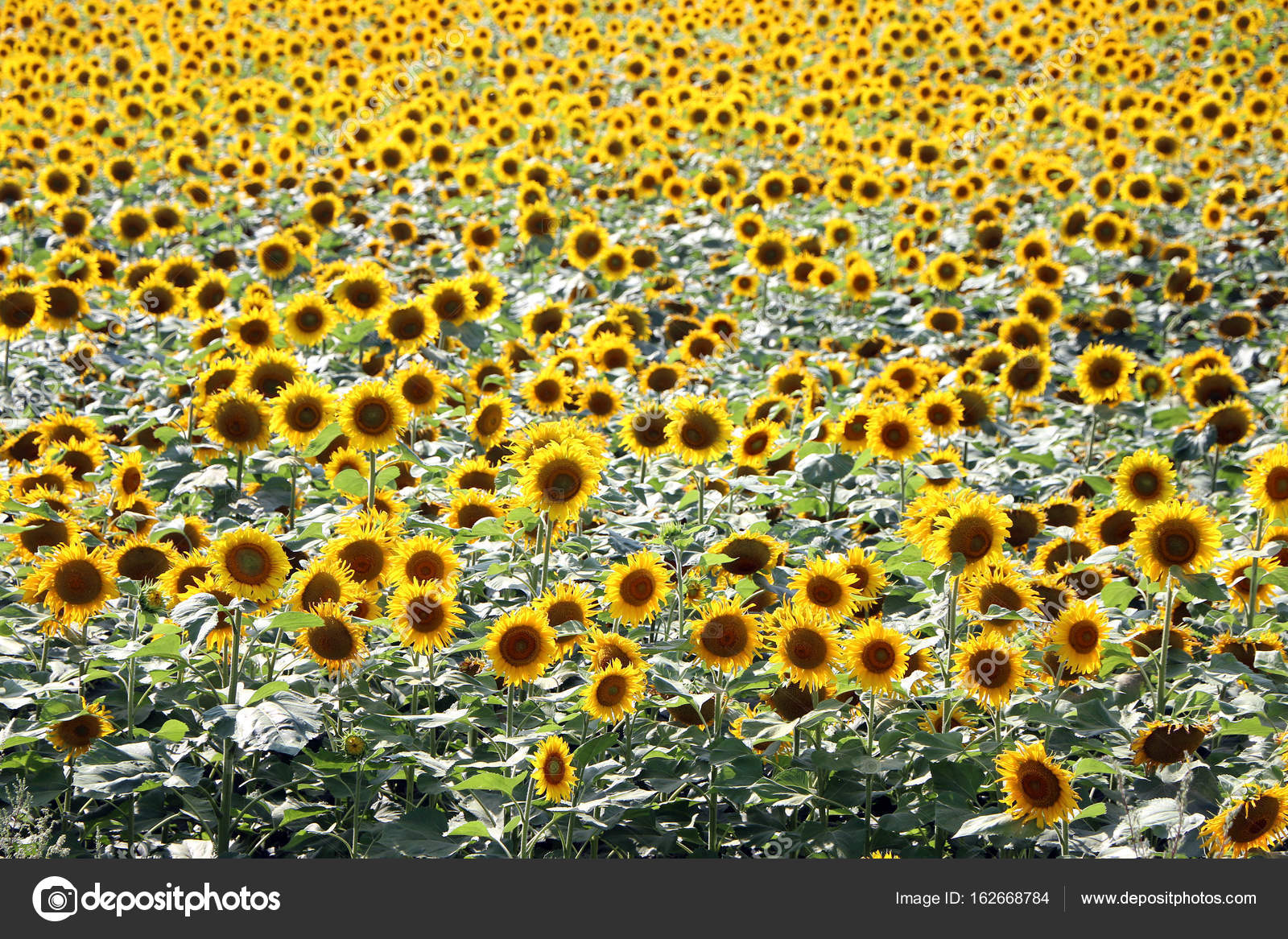 Sunflower Field Wallpaper Background Stock Photo