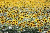 Sunflower field wallpaper background