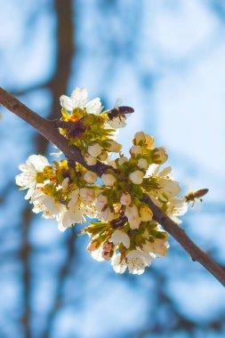 """Картина, постер, плакат, фотообои """"пчелы опыляют весенний цветок и синий фон неба. цветущие белые цветы """", артикул 363302598"""