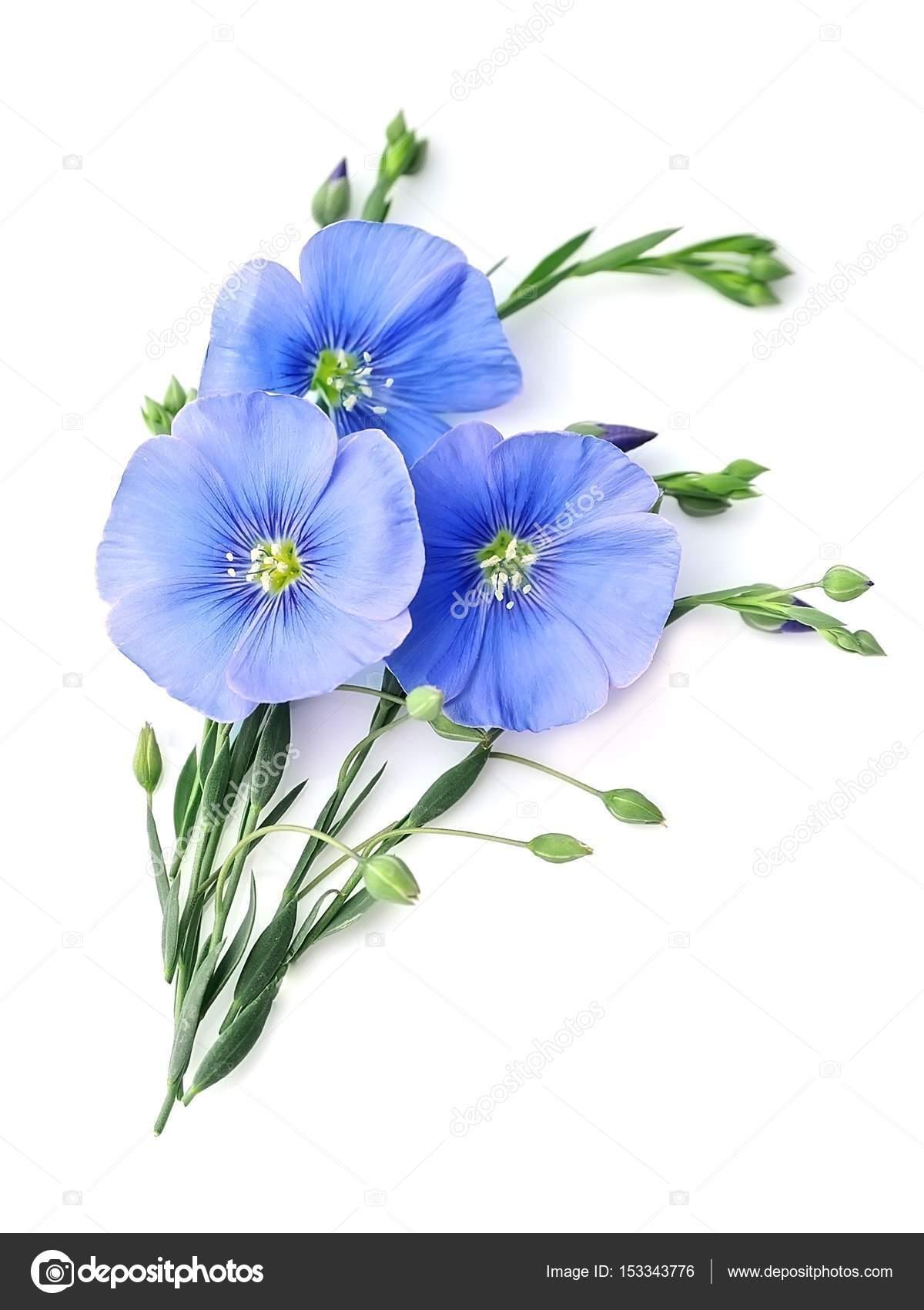 Flax Blue Flowers Stock Photo Margo555 153343776
