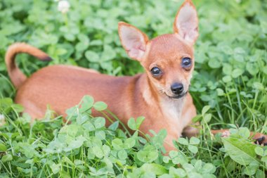 Russian Toy Terrier,