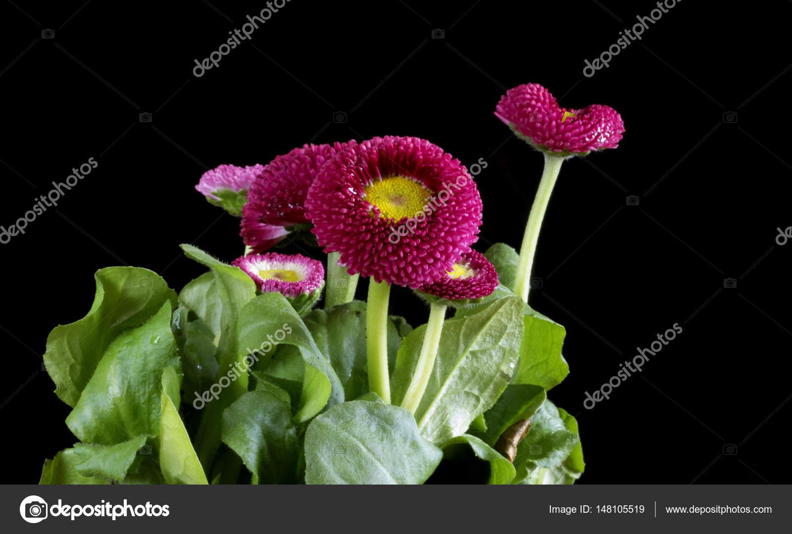 Red daisy flower head stock photo igorgolovniov 148105519 red daisy flower head on black background bellis perennis english daisy asteraceae macro photo by igorgolovniov izmirmasajfo