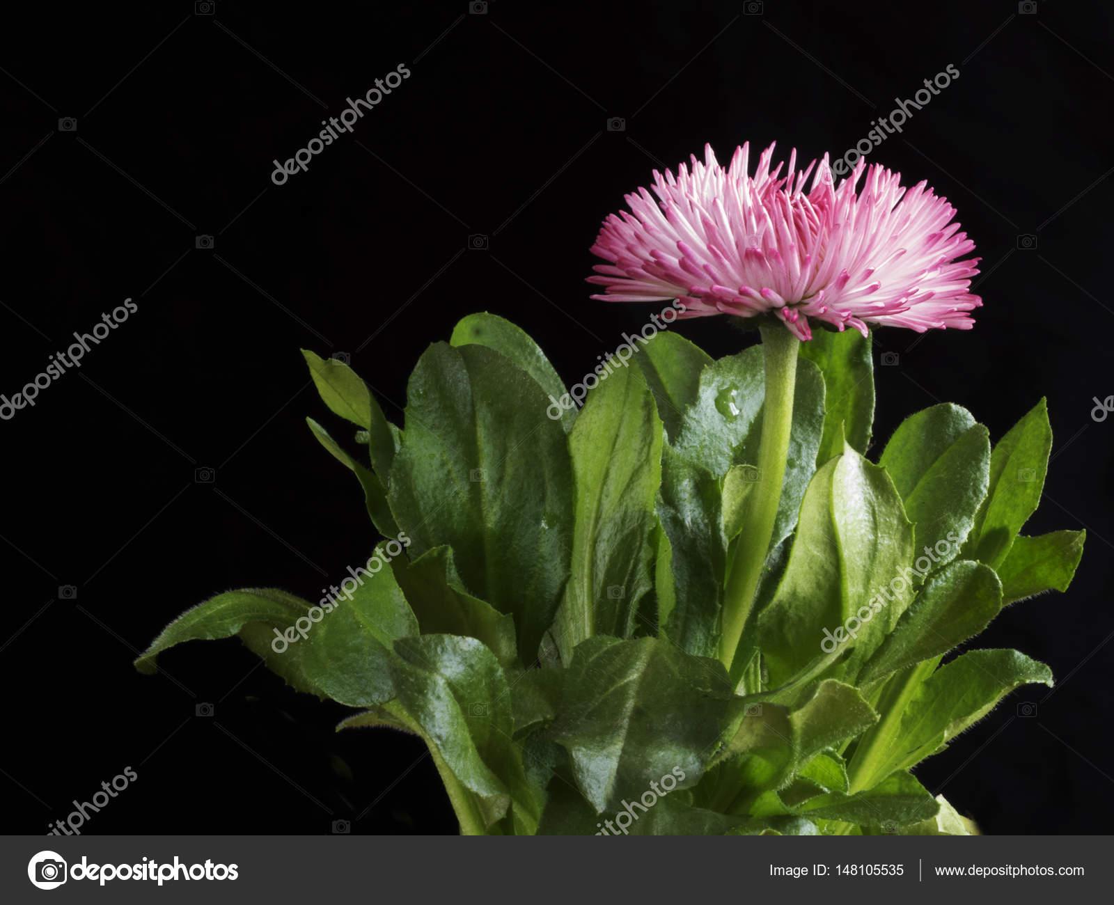 Red daisy flower head stock photo igorgolovniov 148105535 pink daisy flower head on black background bellis perennis english daisy asteraceae macro photo by igorgolovniov izmirmasajfo