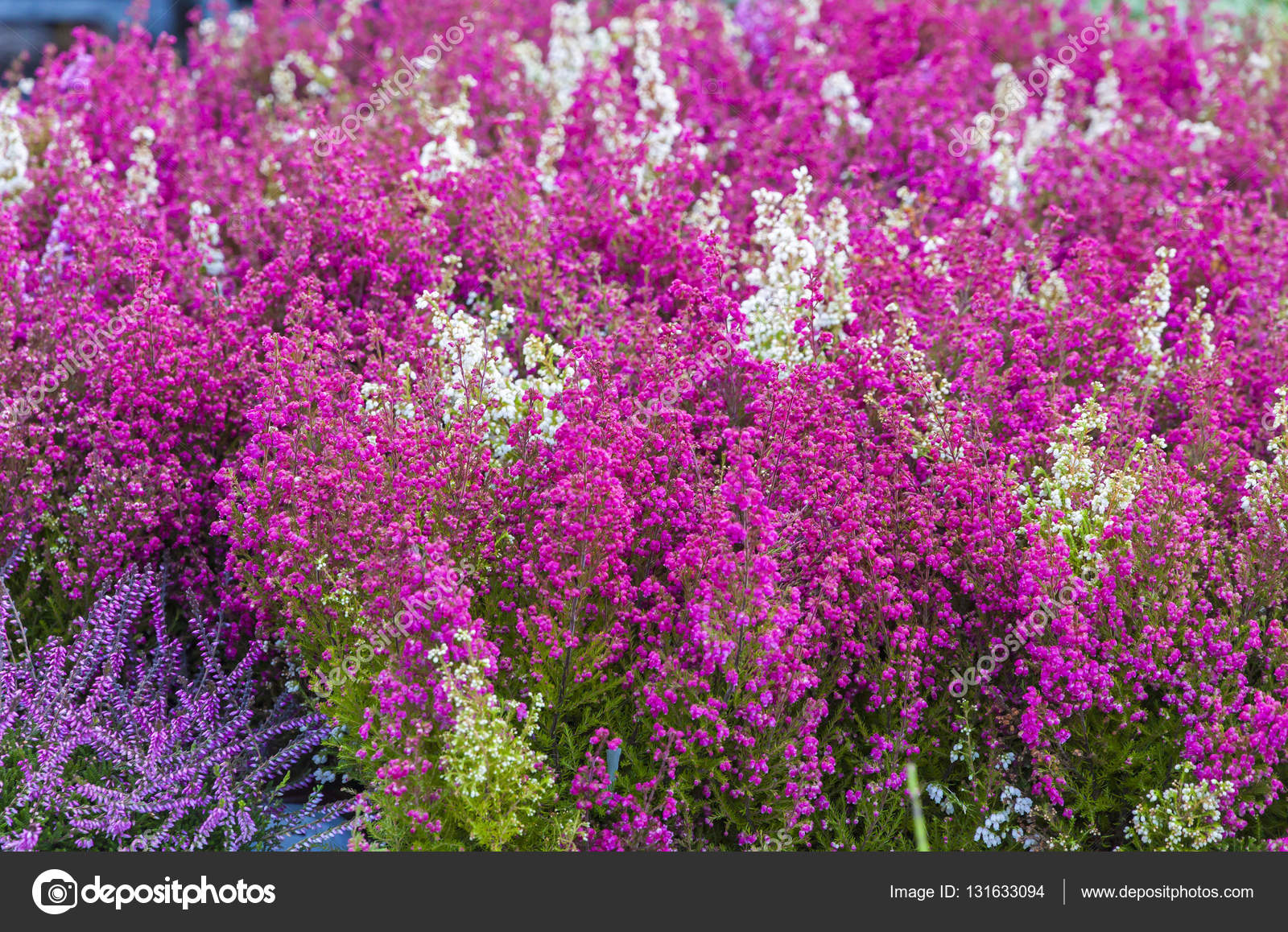 Pink And Purple Heather Flowers In The Garden Stock Photo