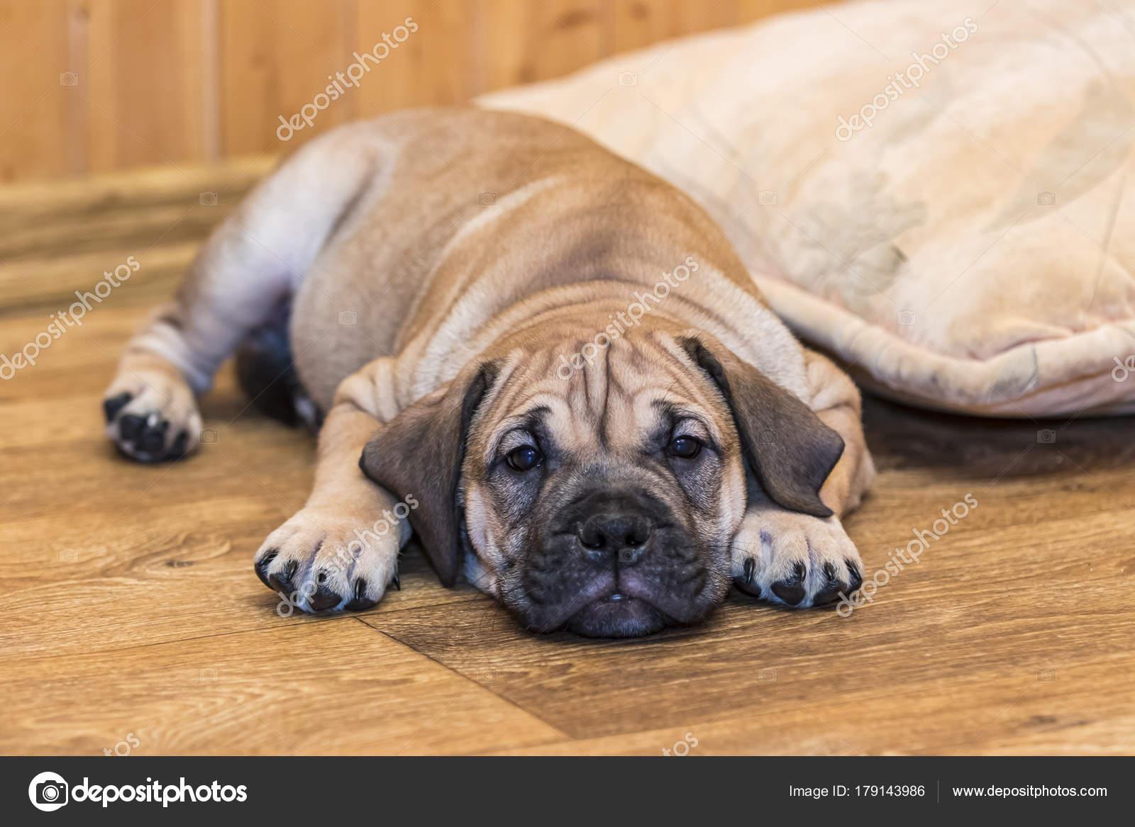 Ca de Bou (Mallorquin Mastiff) puppy dog — Stock Photo