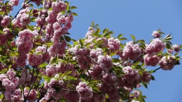 Kvetoucí větve stromu růžové sakura. Třešeň sakura jarní květiny