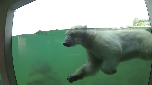 Polar bear swimming underwater and looking through the window