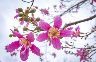 Close-up flowers of Silk floss tree (Ceiba speciosa). The flowers are from creamy-whitish to pink. They measure 4 to 6 inch in diameter and their shape is superficially similar to hibiscus flowers