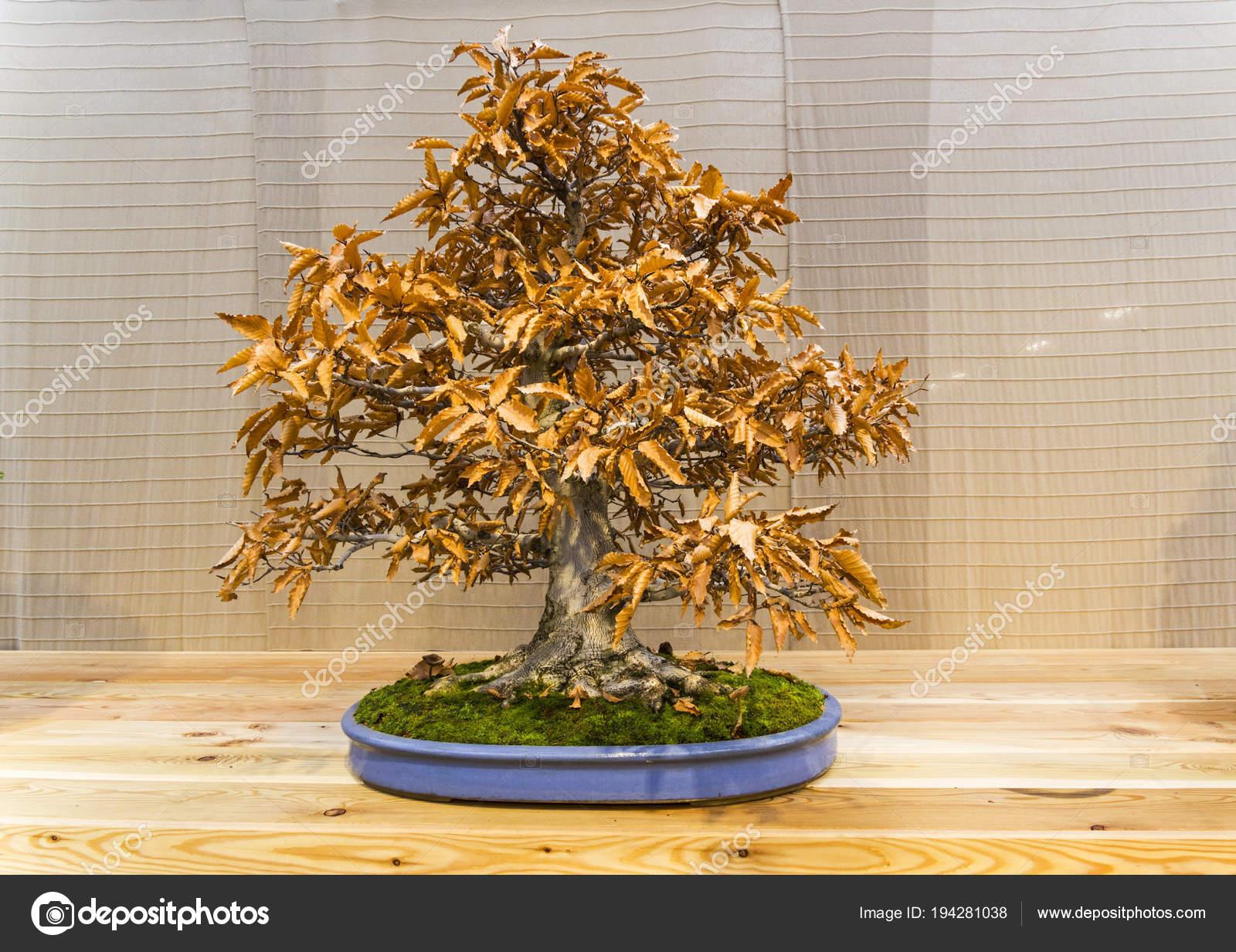 Bonsai Tree Japanese Beech Stock Photo C Possum 194281038
