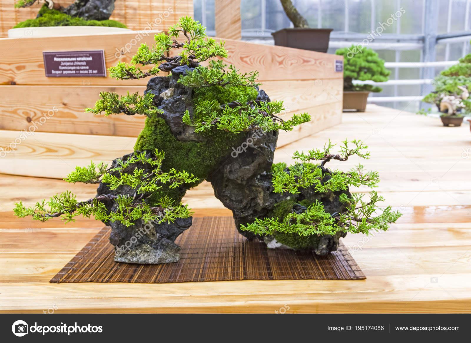Bonsai Tree Chinese Juniper Composition On A Stone Stock Photo C Possum 195174086