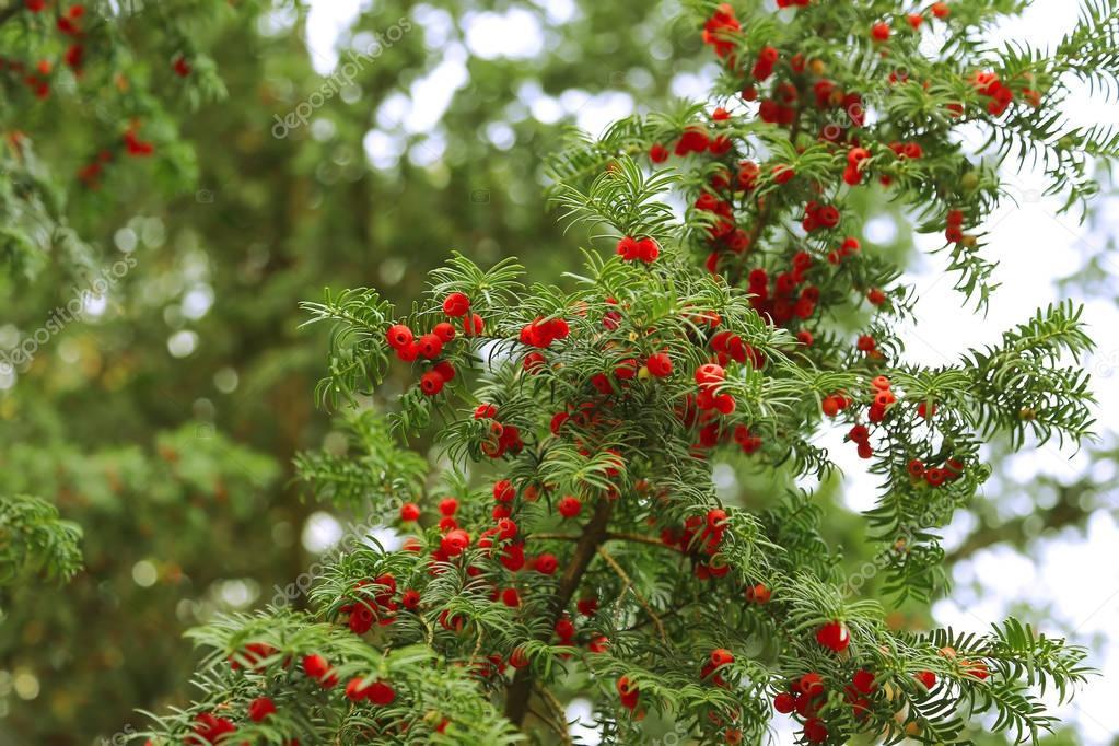 Im genes arbol frutos frutos rojos que crecen en ramas for Arboles de hoja perenne para jardin