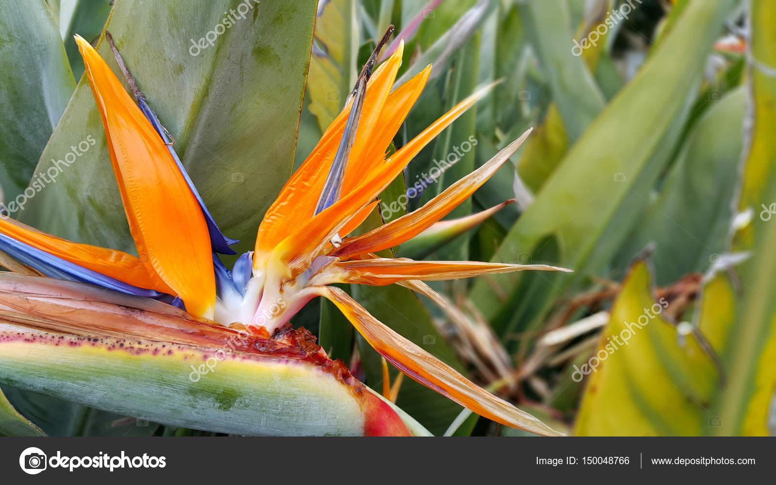 Closeup Of Strelitzia Reginae Flower Bird Of Paradise Flower