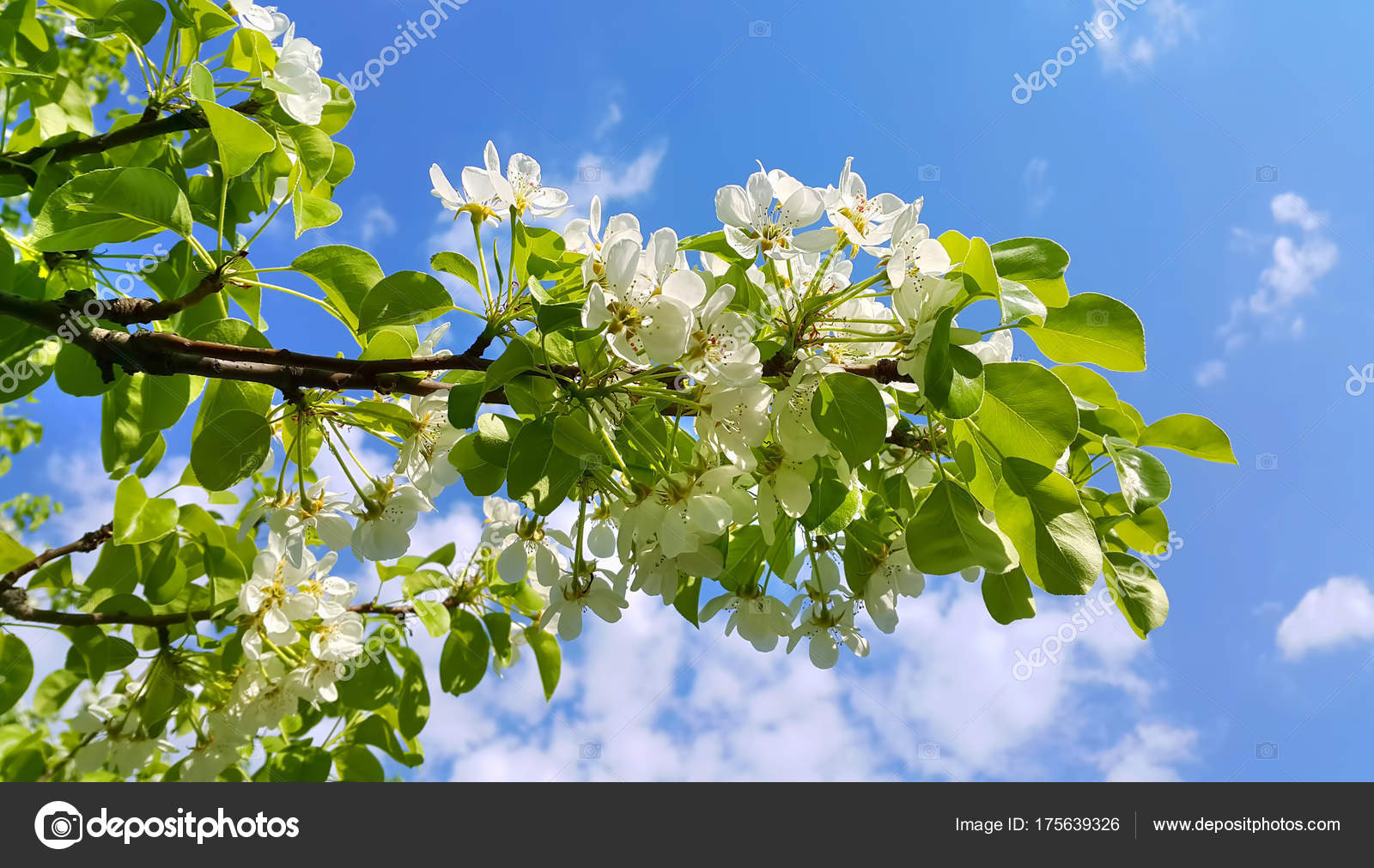 Beautiful Branch Of A Spring Fruit Tree With Beautiful White Flo