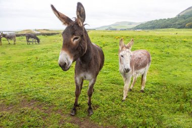Donkeys in field in Scotland