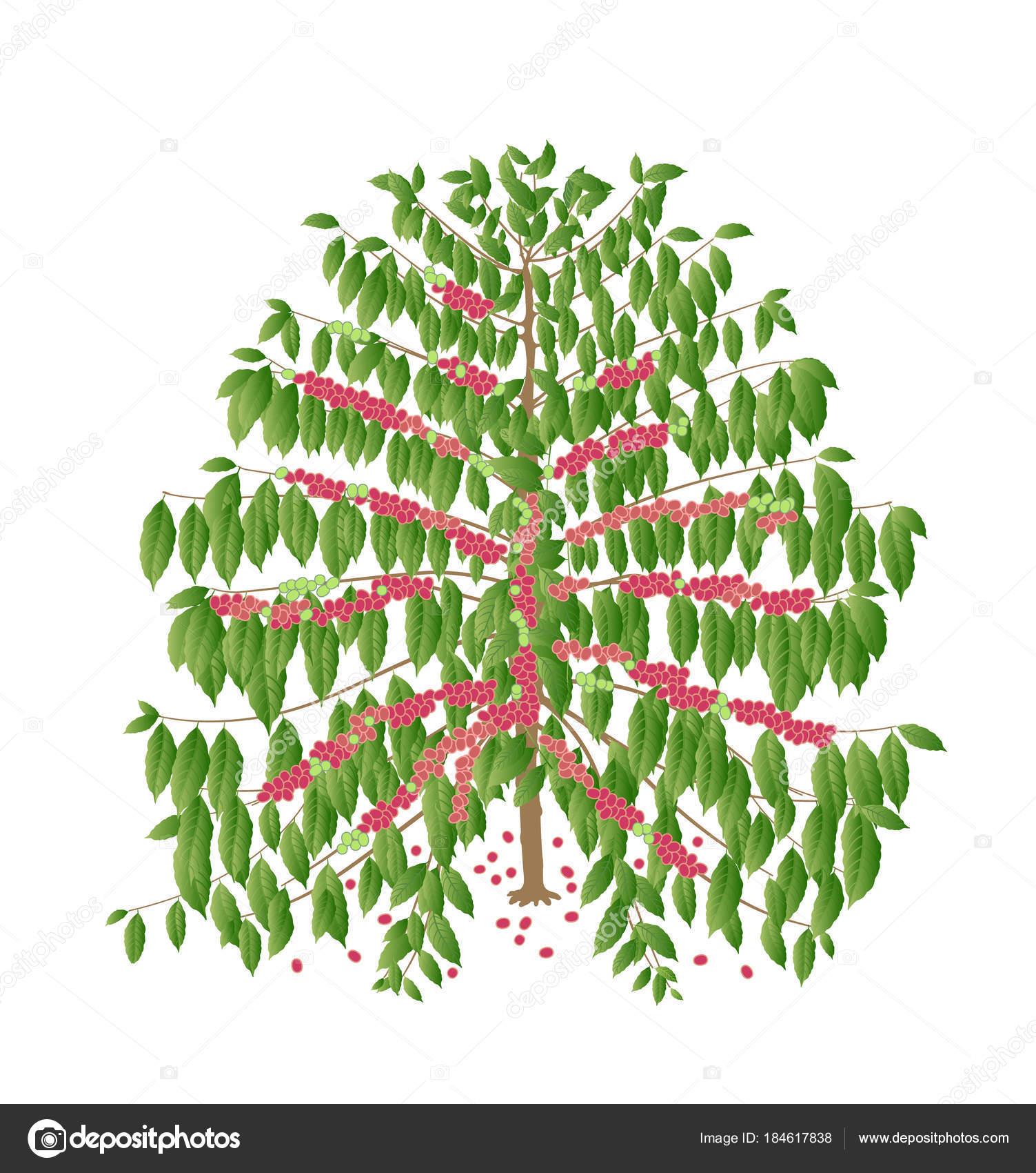 Im genes arbol de cafe rbol caf con frutos rojos for Arbol de frutos rojos pequenos