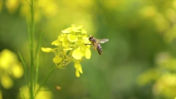 Včela sbírá nektar z hořčice řepkového květu zpomalený pohyb.