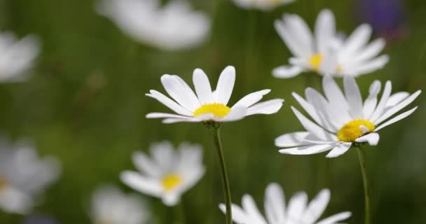 Abstract background of Alpine flowers chamomile.