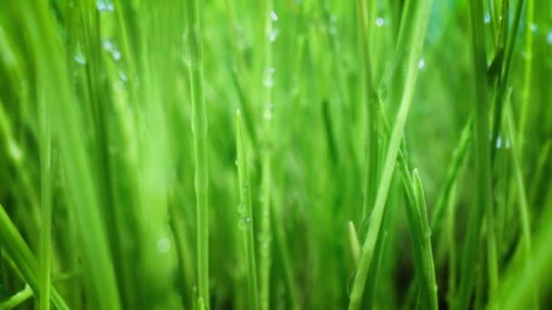 Zöld fű közelkép szuper makró lövés.