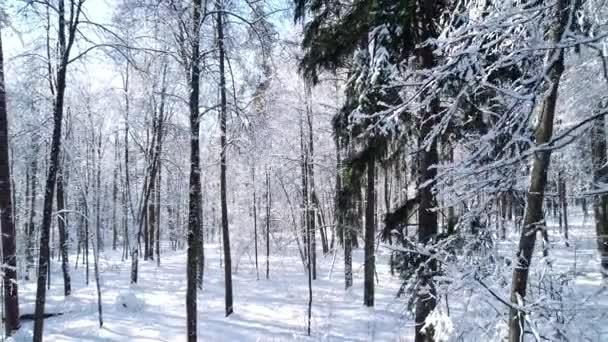 Im verschneiten Waldwinter zwischen den Bäumen fliegen.