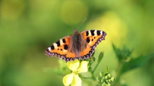 Motýl detailní up na květině ve zpomaleném filmu