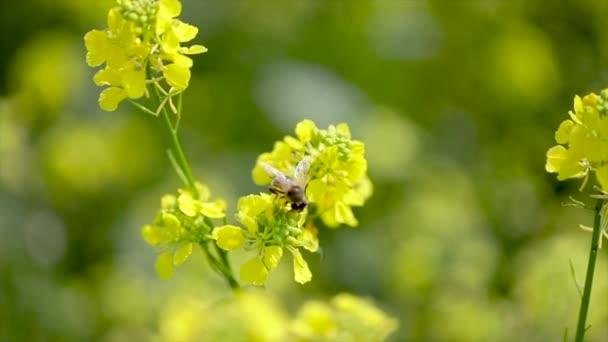 Biene sammelt Nektar aus Senf-Rapsblüten-Zeitlupe.