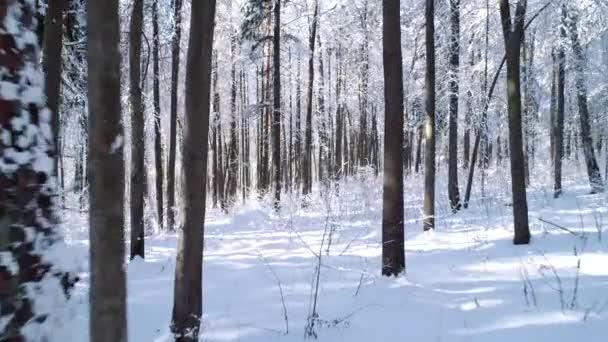 Létání mezi stromy ve sněhobílém lese v zimě.