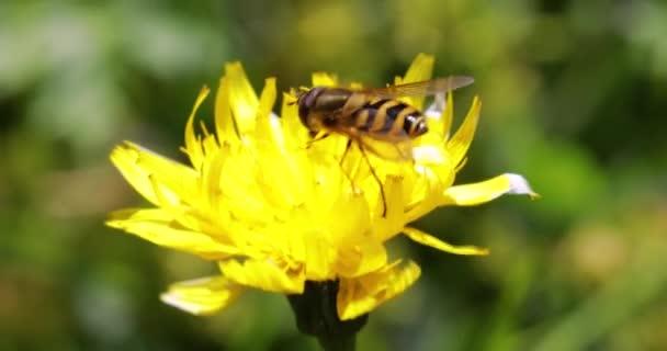 Biene sammelt Nektar aus Blume crepis alpina