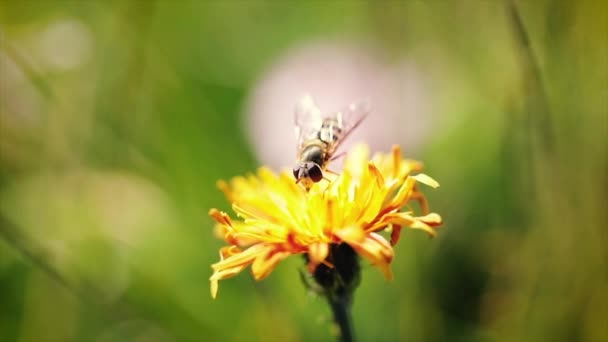 Wasp collects nectar from flower crepis alpina slow motion.