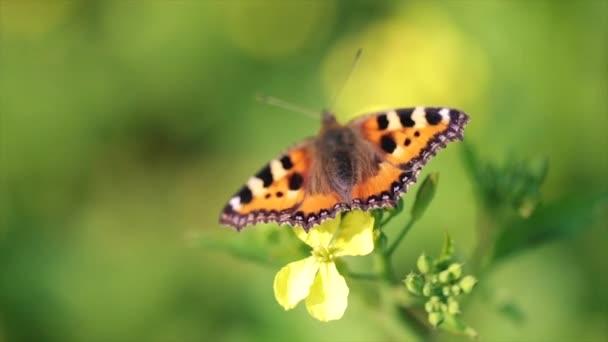 Pillangó közelkép egy virág lassított felvételen