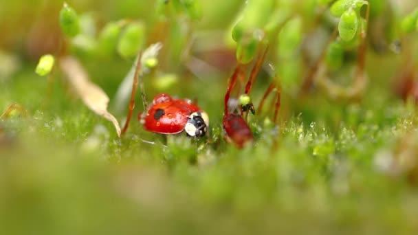 Detailní záběr divoké zvěře berušky v zelené trávě v lese