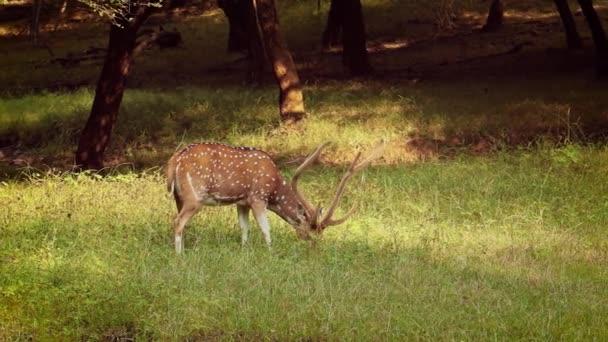 Chital nebo gepard, také známý jako tečkovaný jelen, chital jelena, a osa jelena, je druh jelena, který je původem z indického subkontinentu. Ranthambore Národní park Sawai Madhopur Rajasthan Indie