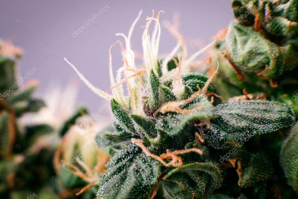 cannabis marijuana medicinal bud