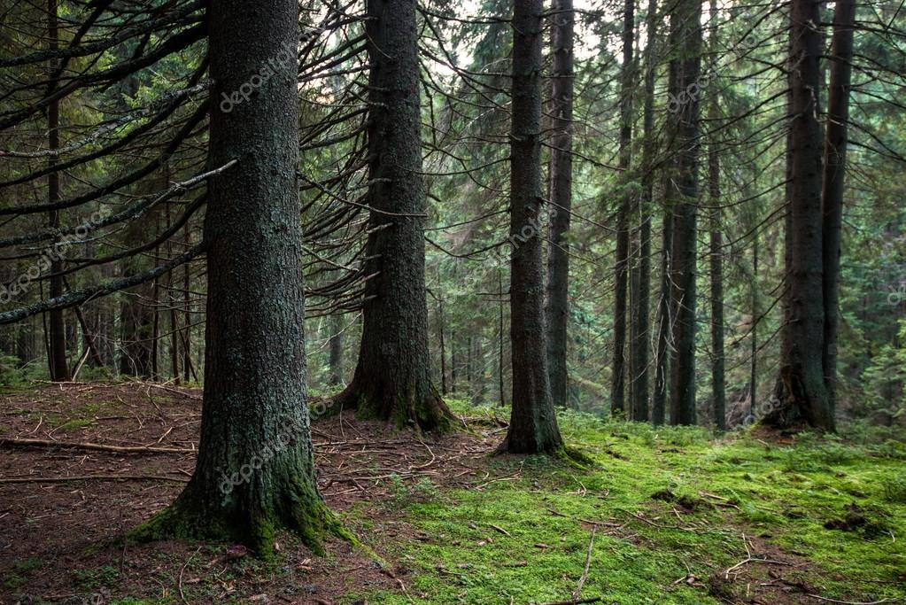Imágenes: Bosque Coniferas