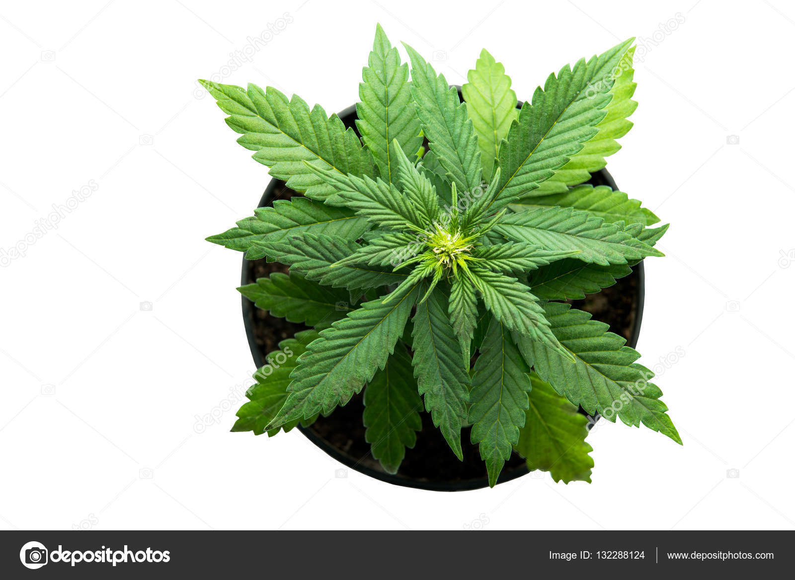Marijuana Plants On A White Background Kush Afghani Strain Stock Photo