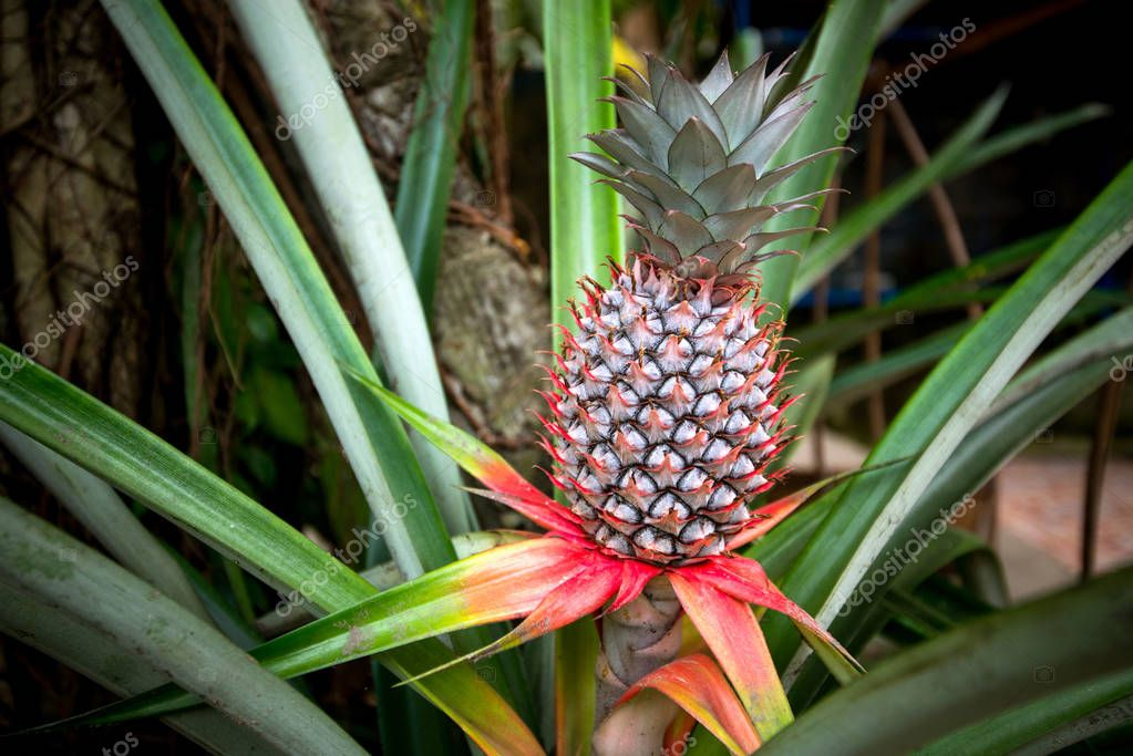 Plant pineapple red, fruit growing cousin